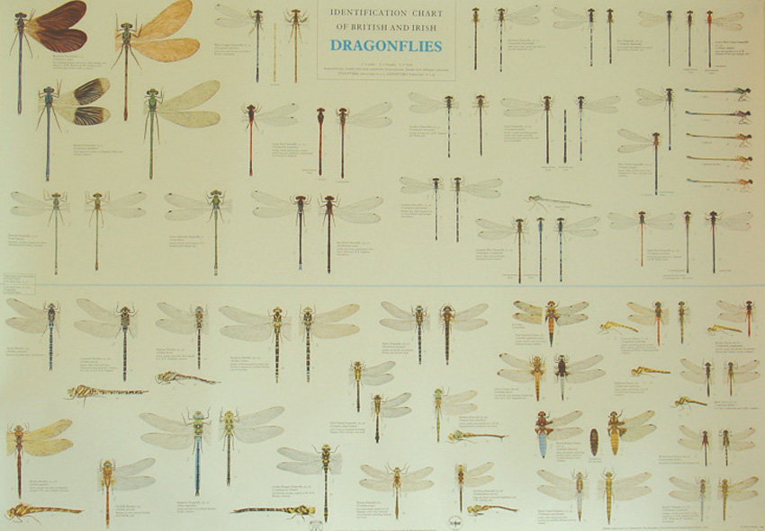 Dragonfly Chart